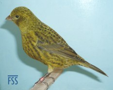 Non cap gold female Lizard canary