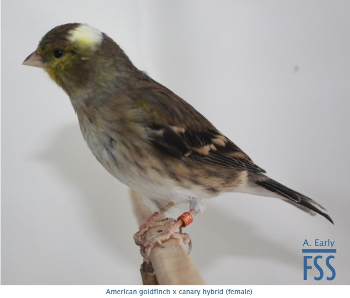 Am goldfinch x canary hen