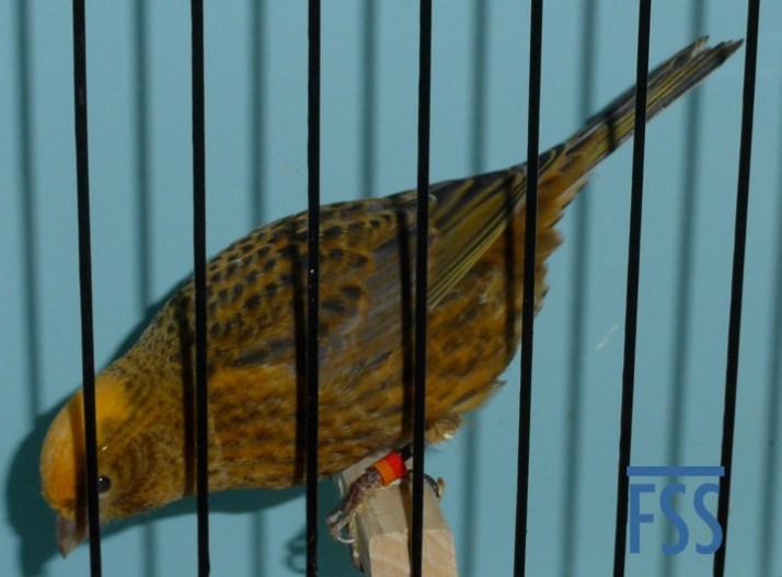 Clear cap gold hen, David Newton