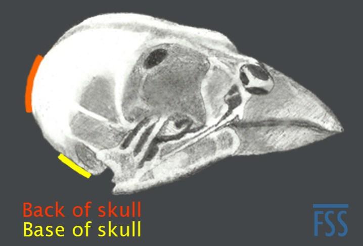 Skull back or base-fss