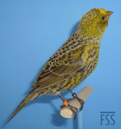Broken cap silver male Lizard canary