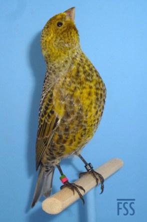 Non cap silver male Lizard canary
