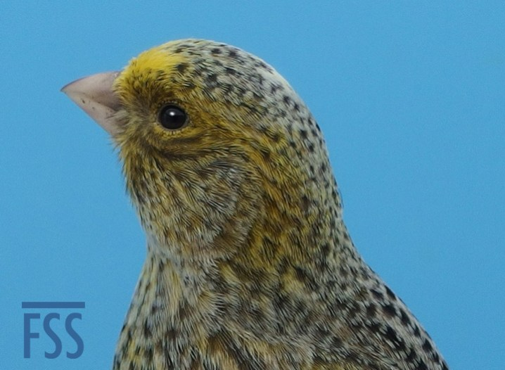 Broken cap female silver canary crown