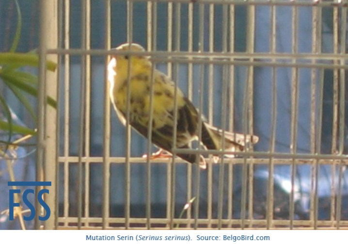 mutation-serin-belgo-bird-fss
