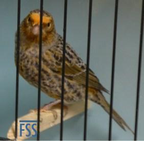 Broken cap silver hen Lizard canary-Wayne Elton