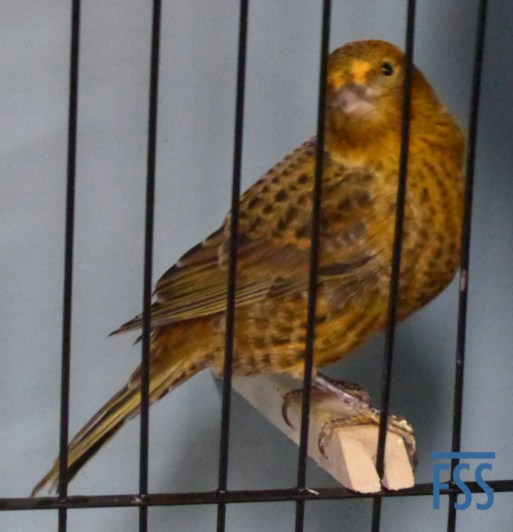 Broken cap gold hen Lizard canary-David Newton