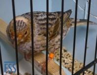 Broken cap silver hen Lizard canary-Andy williamson