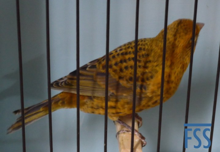 David Newton's Best Champion Lizard canary