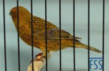 Near-non cap gold hen Lizard canary-Stan Bolton