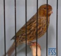 Non cap silver cock Lizard canary-???