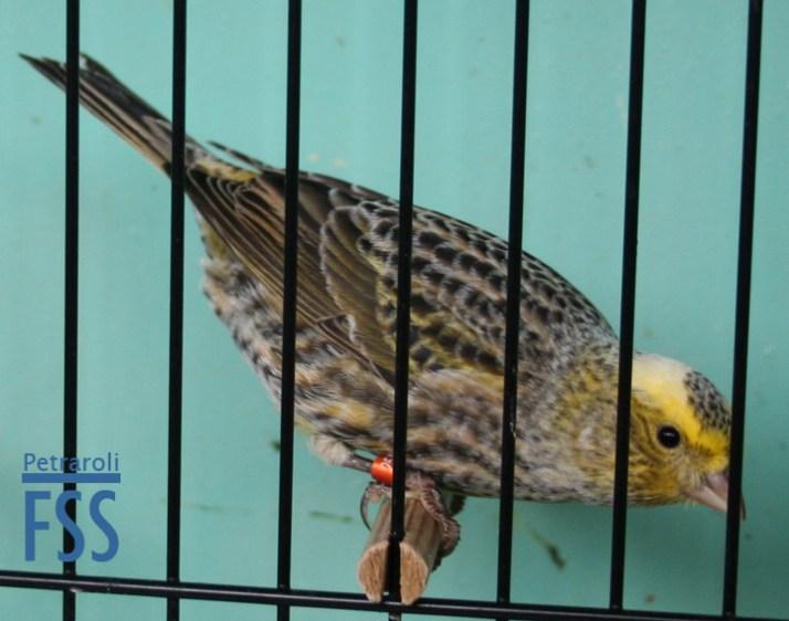 Best broken cap silver hen Lizard canary- Domenico Mungiguerra