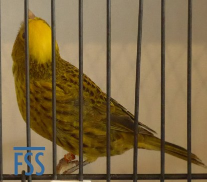 Clear cap gold hen Lizard canary from Jules Etienne, one of his gold medal stam.