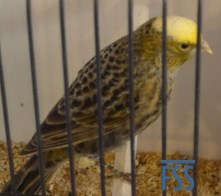 Clear cap silver hen Lizard canary from Andreas Stamm
