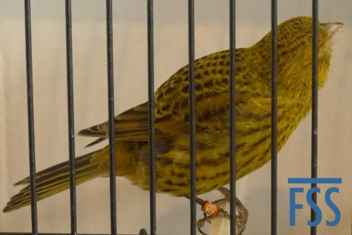 Non cap gold hen Lizard canary from Jules Etienne