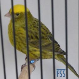 Clear cap gold hen (Fernand Moes)