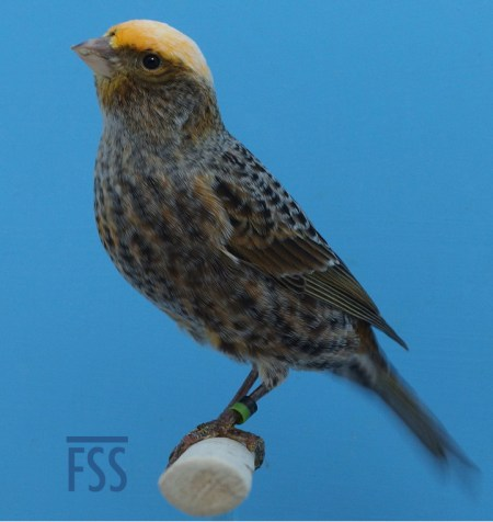Clear cap silver henLizard canary (David Newton 2017)