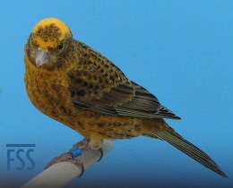 Clear cap gold cock Lizard canary (David Newton 2017)