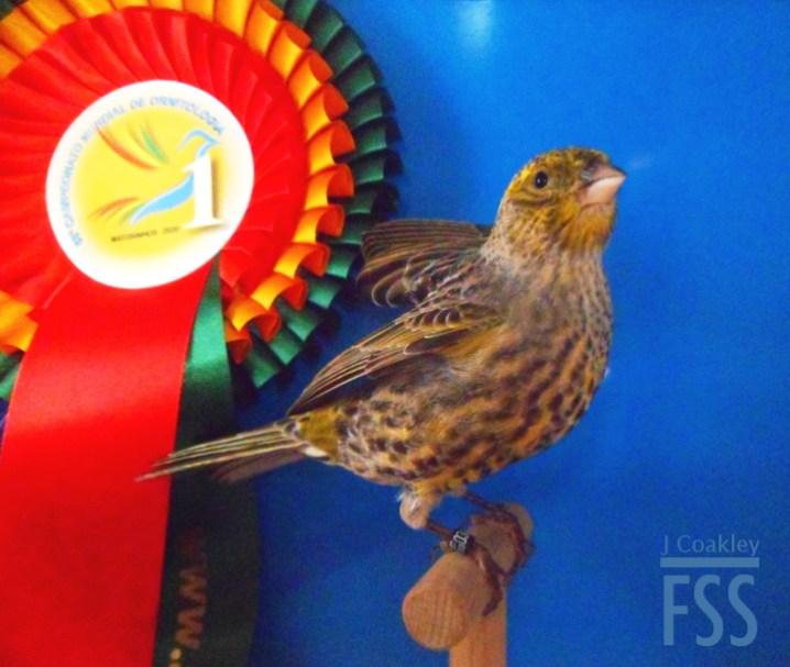 Vincent Coquet Lizard canary