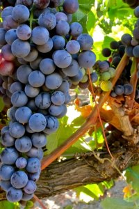 Tempranillo wine grapes growing in situ