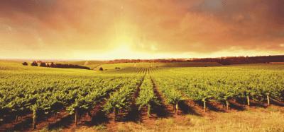 Pinot Grigio Vineyard