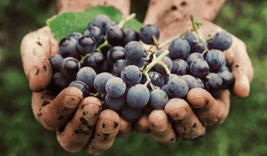 Organic winemaking