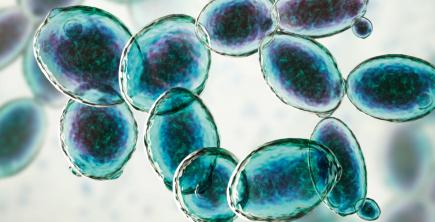 Wild fermentation bacteria