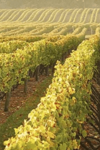 Chardonnay vineyards