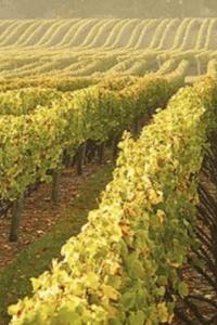 Chardonnay vineyards