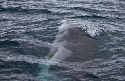 Whale Baleen-2
