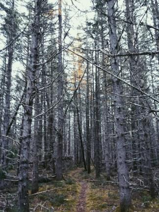 Blurry Spruce Path