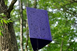 Emerald ash borer trap. Photo by Bill, New England Photos