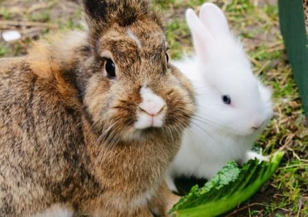 되새김질을 하는 토끼