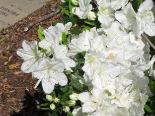 White Azaleas, Rhododendron family