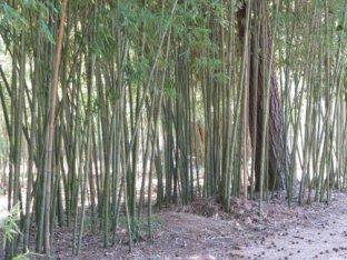 Bamboo (Arundinaria amabillis)