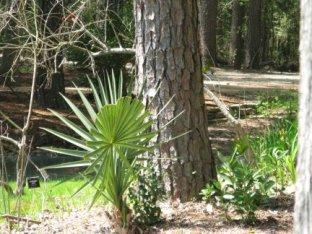 Dwarf Palmetto (Sabal minor) and Bald Cypress