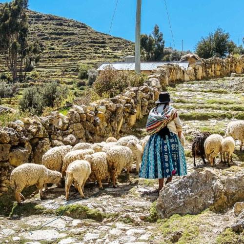 Sheeps on the Isla del Sol in Bolivia