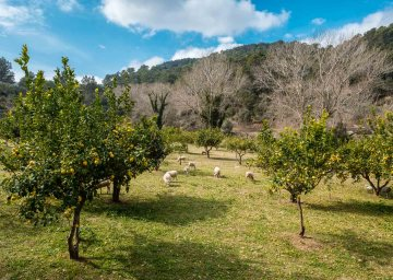 Sheeps on a sunny day on a meadow between orange trees on the island of mallorca