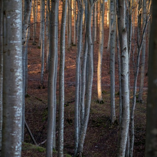 A single tree illuminated by the sun in the forrest of the Jasmund National Park on Ruegen