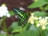 The manic Graphium agamemnon eluded me entirely; the only time one sat still - for all of two seconds - auto-focus failed