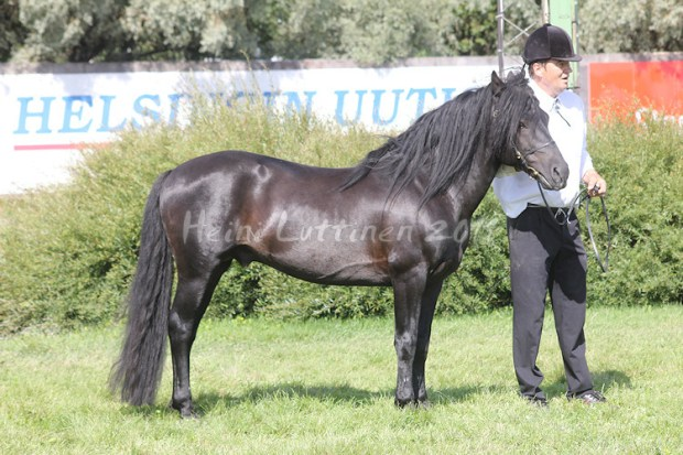 32 pony-sized finnhorses in the National Pony Show 2012