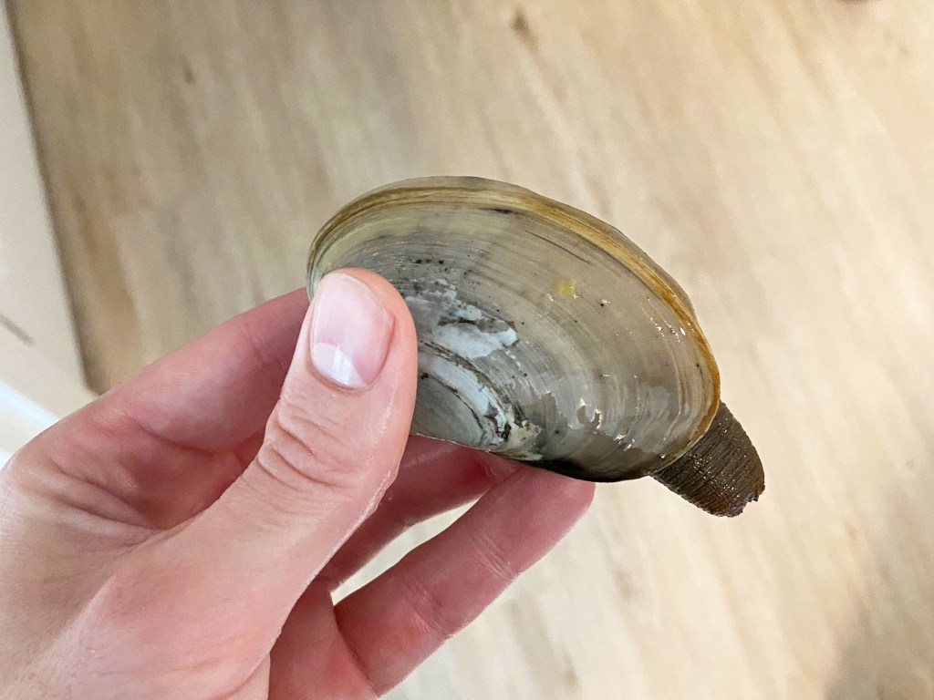 gaper clam