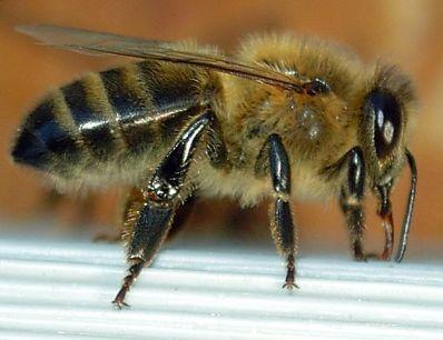 Dunkle Biene im Profil in der Feedingbox   Foto: Emmanuel Boutet