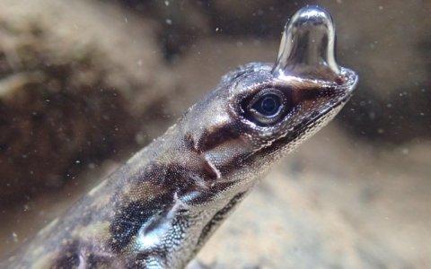 El lagarto que crea una burbuja alrededor de su cabeza para respirar debajo del agua [Vídeo]