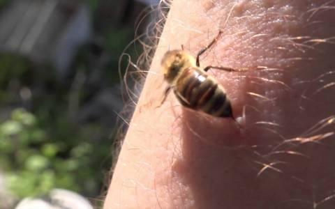¿Es cierto que las abejas mueren después de picarte?