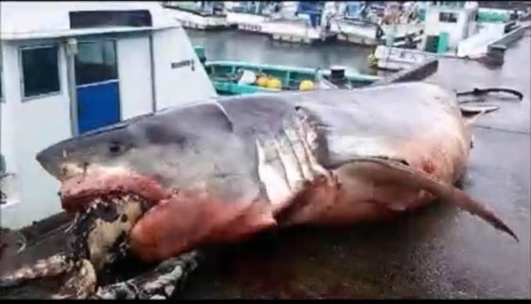 Tiburón de 2000 kilos muere tras intentar comerse una tortuga gigante
