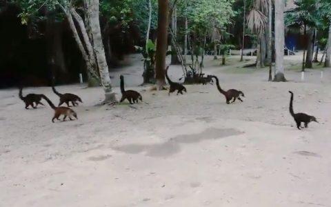 Si pasás al revés videos de coatíes estás en Jurassic Park