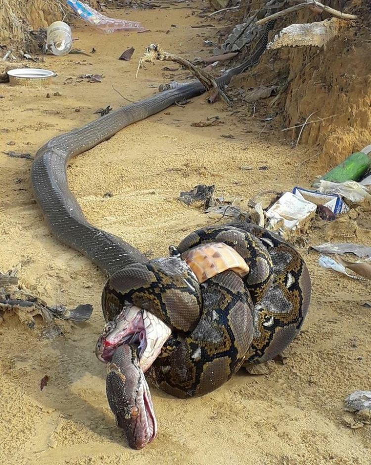 Cobra real vs pitón reticulada
