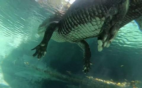 Buceando por debajo de un alligátor