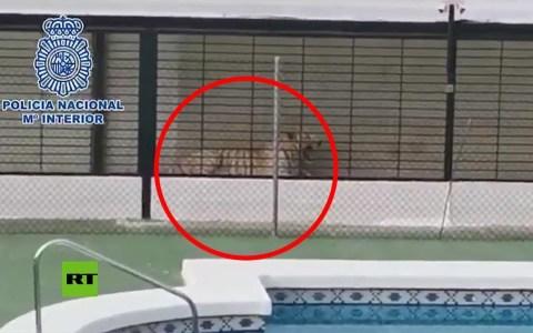 Detienen por tráfico de drojas a una pareja que tenía como mascota un tigre albino en Alicante