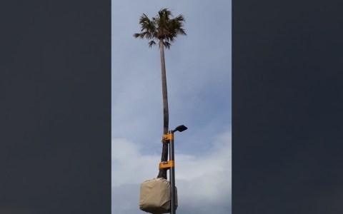 """Esta palmera es la campeona del mundo de """"el suelo es lava"""""""